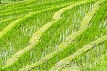 Typical rice paddy field in south east Asia showing the individual rice plants