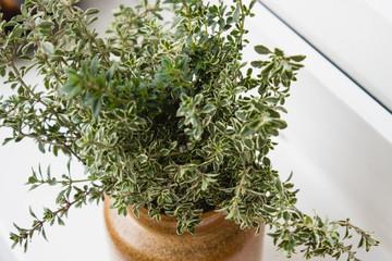 Zitronenthymian in der Vase