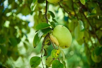 모과나무의 열매 향기가 좋다.