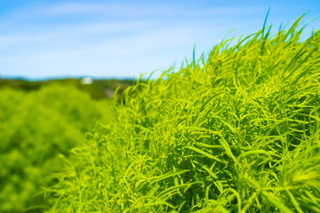 日に照らされて輝く緑色の草