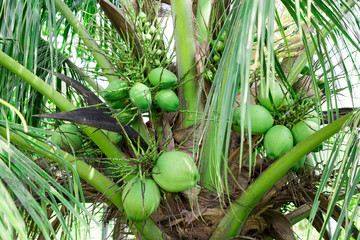 Fresh coconut on the coconut tree