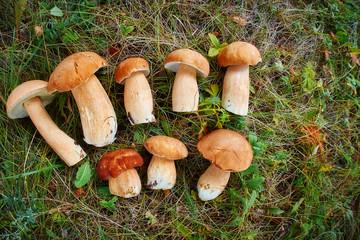Pile of fresh edible mushrooms close up background. Lot of young porcini mushrooms. Mushroom hunting. gathering mushrooms, mushroom season. Full Frame Background With Lots Of Edible Mushrooms Boletus