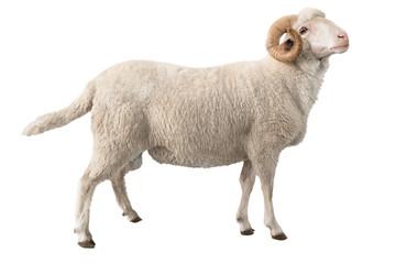 Fond de hotte en verre imprimé Sheep white ram isolated