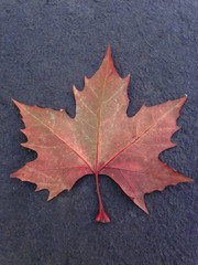 A dried red leaf of maple fallen on the ground in autumn, in the city of Canela, Brazil