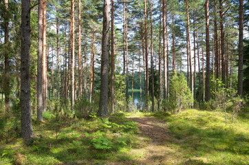 Nature of Seliger. Coniferous forest on the lake shore
