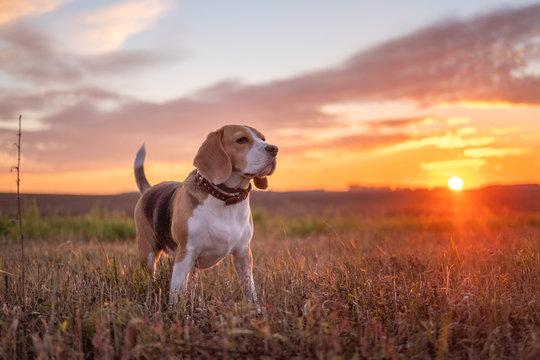 Beagle dog on the background of a beautiful autumn sunset