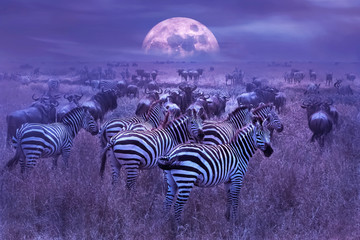 Fototapeta Zebras in the African savannah. Night lunar African landscape. Wildlife of Africa.