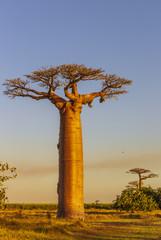 Allée des Baobabs - Avenue of the Baobabs Madagascar