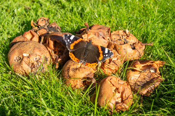 Red Admiral butterfly feeding on rotting fruit