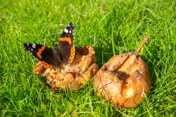 Red Admiral butterfly feeding on windfall fruit