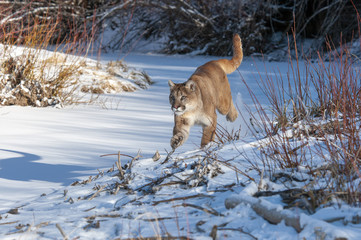 Wall Mural - Mountain Lion Running in Snow