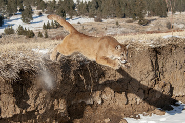 Wall Mural - Mountain Lion Jumping off Cliff