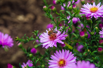 Closeup of American Aster- herbstastern. a bee on small violet autumn flowers