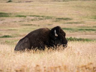 Amerikaanse bizons op een weide in National Bison Range, een natuurreservaat in Montana, VS