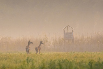 Hunting Blind and two hind in automn
