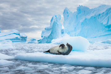 Spoed Foto op Canvas Antarctica Crabeater seal (lobodon carcinophaga) in Antarctica resting on drifting pack ice or icefloe between blue icebergs and freezing sea water landscape in the Antarctic Peninsula