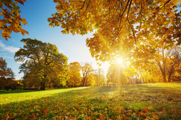 Wall Mural - trees with multicolored leaves on the grass in the park. Maple foliage in sunny autumn. Sunlight in early morning in forest