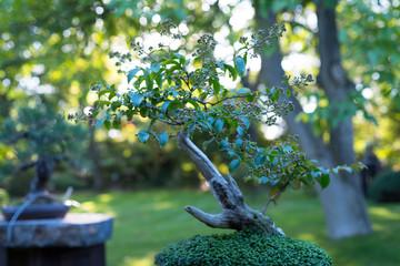 Japanese bonsai in the Japanese garden