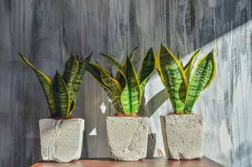 Three snake plants in pots on light grey grunge background.