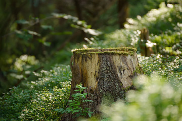 North scandinavian pine forest, Sweden natural travel outdoors vintage hipster background with the stump