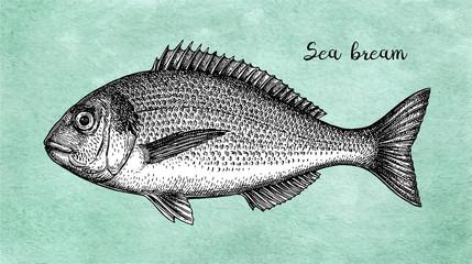 Ink sketch of gilt-head sea bream.