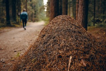 Close up view of gigantic ant hill in protected area with woman walking along path in background. Large anthill in summer forest among trees. Nature, environment, flora and fauna. Selective focus
