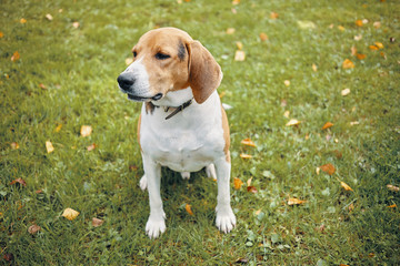 Isolated picture of adult beagle sitting on green grass, having some rest during morning walk in park with its owner. Beautiful white and brown dog resting outdoors. Pets and animals concept
