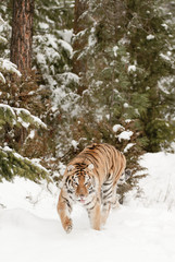Wall Mural - Tiger in Winter Forest