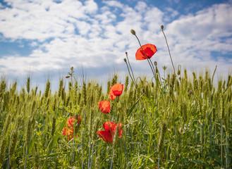 Poppy flowers in wheat spikelets field, sunny day