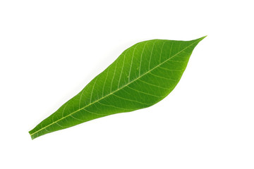 Cassava green leaf nature on white background