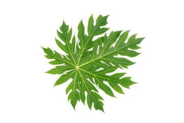 Papaya green leave nature on white background