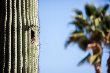 Birds Nest in Cactus in Arizona