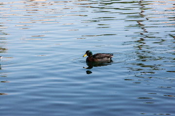 Cayuga Duck on Golf Course Lake in Surprise Arizona