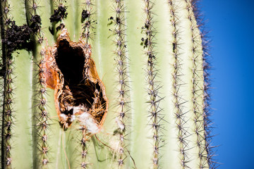 Birds Nest in Cactus
