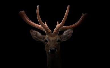 eld deer (Rucervus eldi) head