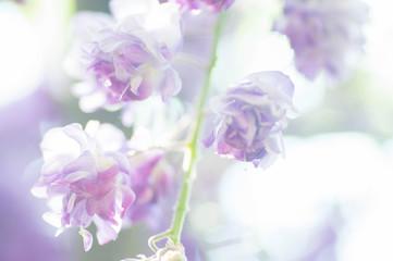八重の藤の花