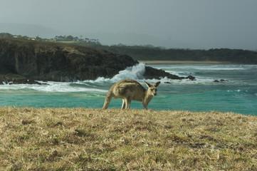 Printed kitchen splashbacks Australia Kangaroo and Waves II