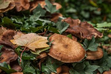 Braune Pilze und Herbstlaub von Efeu umwuchert