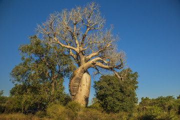 A natural landmark in Madagascar: Les Babobabs Amoureux