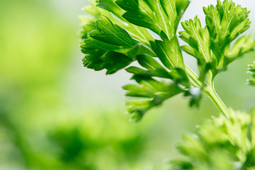Delicious juicy parsley with green leaves closeup
