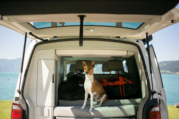 Cute and adorable small brown puppy or dog of basenji breed sits in trunk of camping van, ready to embark on roadtrip or adventure with owner, nomad active healthy lifestyle in nature vibes