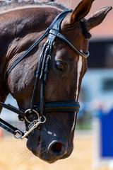 Porträt von einem Kaltblut Pferd