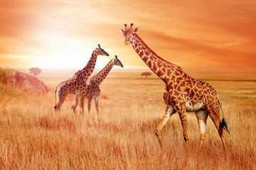 Giraffes in the African savannah at sunset. Wild nature of Africa.