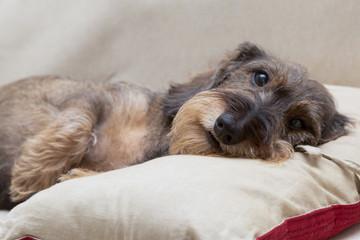 Cane bassotto a pelo ruvido a riposo sul cuscino