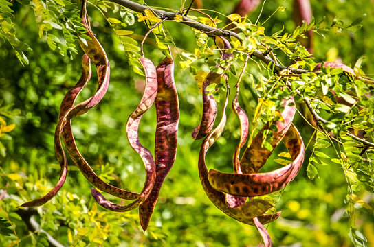 Close up of the long red pods of a honey locust on a sunny day in springtime
