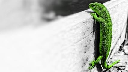 Türaufkleber Chamaleon Zielona jaszczurka