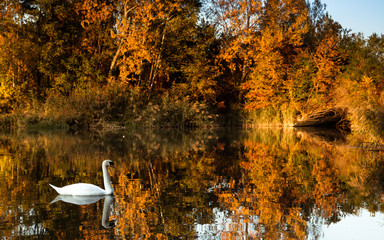 Swan swimming in i lake with in an autumn landscape