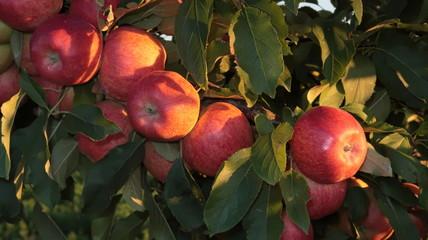 Manzano con ramas con manzanas rojas maduras. Árbol de fruta en huerto de Zamora en España