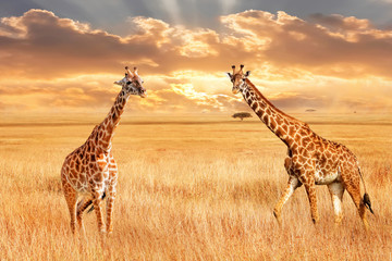 Wall Mural - Giraffes in the African savannah. Wild nature of Africa. Artistic African image.