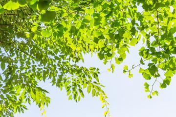 新緑の銀杏